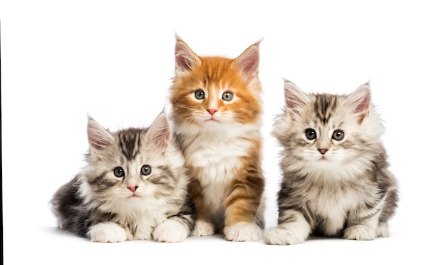 Maine coon kittens, 8 weeks old, lying together, in front of white surface