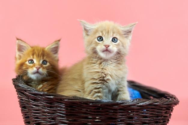 バスケット、赤、クリームのメインクーンの子猫。ピンクの背景にかわいい短髪純血種の猫。新しいごみから生姜とベージュの髪の魅力的な子猫。
