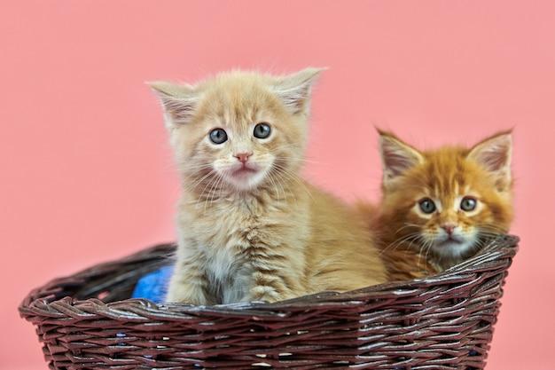 バスケット、赤、クリームのメインクーンの子猫。ピンクの背景にかわいい短髪純血種の猫。