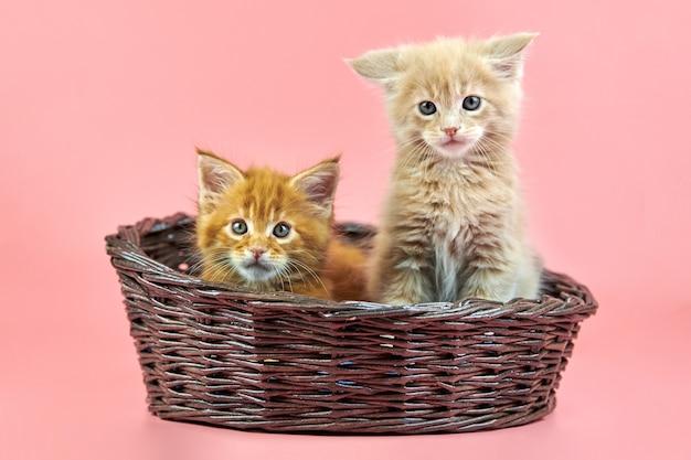 バスケットのメインクーンの子猫
