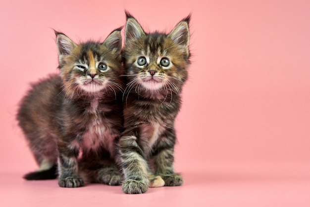 Maine coon kittens isolated on pink