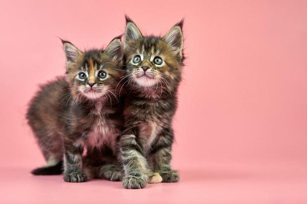 Maine coon kittens, tortoiseshell color