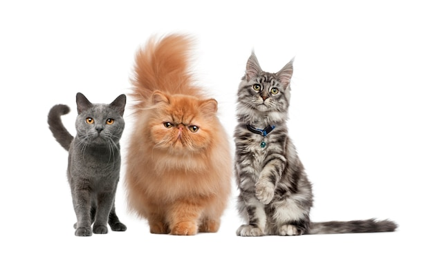 Maine coon, persian kitten and chartreux cat