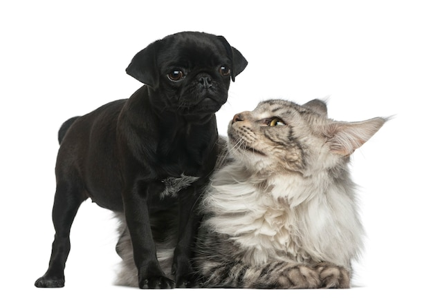 Maine coon and pug puppy in front of a white wall