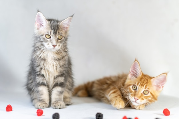 Maine coon red and black kittens