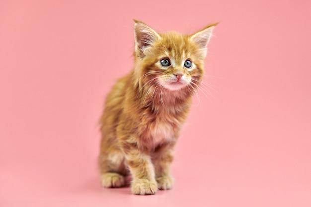 メインクーンの赤い子猫。ピンクの背景にかわいい短髪純血種の猫。新しいごみから生姜髪の魅力的な子猫。