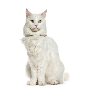 Maine coon sitting in front of white surface
