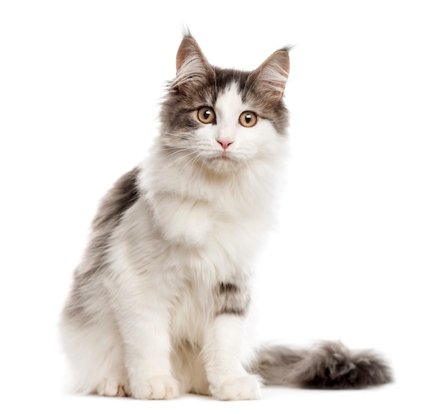 Maine coon sitting and looking at the camera isolated on white
