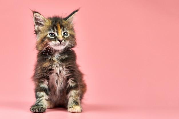 メインクーンべっ甲子猫、コピースペース。ピンクの背景にかわいい短髪純血種の猫。