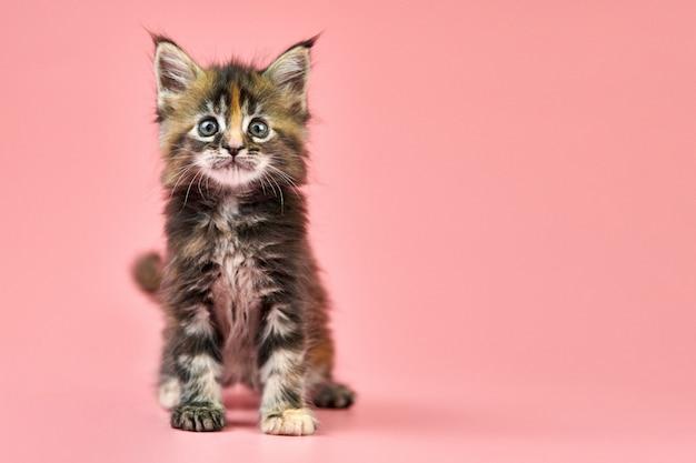 メインクーンべっ甲子猫