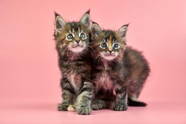 メインクーンべっ甲子猫。ピンクの背景にかわいい短髪純血種の猫。新しいごみからの三毛猫の色の魅力的な子猫。