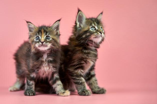 Maine coon tortoiseshell kittens