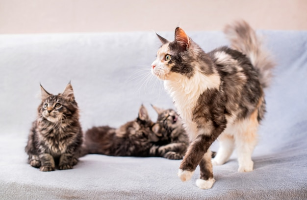 Mainecoon family, mother cat walks past three kittens lying on a light fluffy blanket