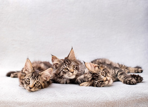 Mainecoon family three kittens lie on a light fluffy blanket