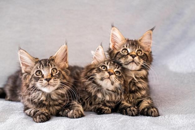 Семья мейнкунов три котенка лежат на легком пушистом одеяле