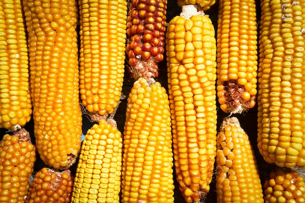Maize corn stack closeup, corn textured background
