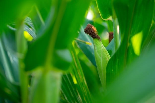 トウモロコシ粉はまだ収穫されていません。まだ緑で爽やかに見えます。