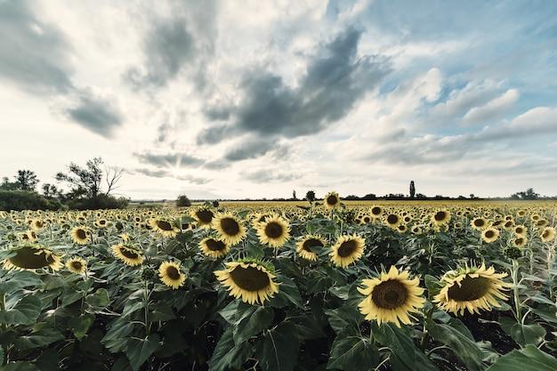 Величественный сельскохозяйственный пейзаж, вид на сельское хозяйство с полем подсолнухов и красивым небом. винтажная стилизация, ретро-пленочный фильтр