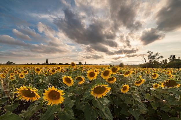 장엄한 농업 풍경, 해바라기 밭과 아름다운 하늘이있는 농업보기