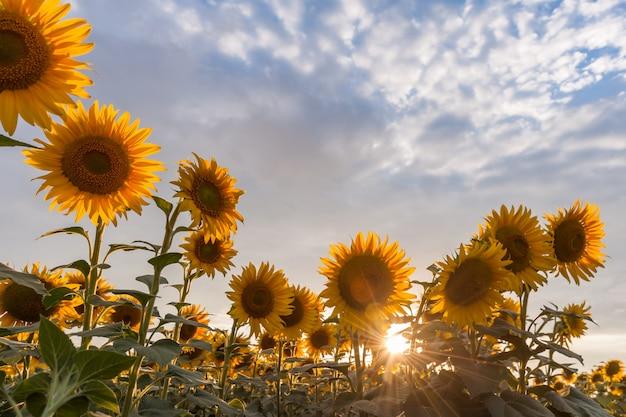 雄大な農業景観、ひまわり畑と美しい空の農業景観