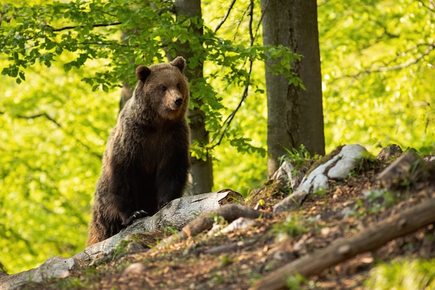 Величественный бурый медведь, наблюдая в лесу в течение лета.