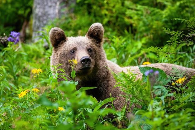 Величественный бурый медведь стоит в зелени и наблюдает за окружающими.