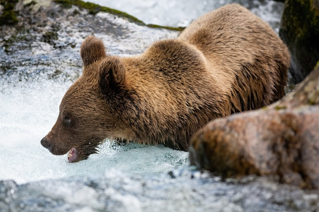Majestic brown bear standing in river during summer.
