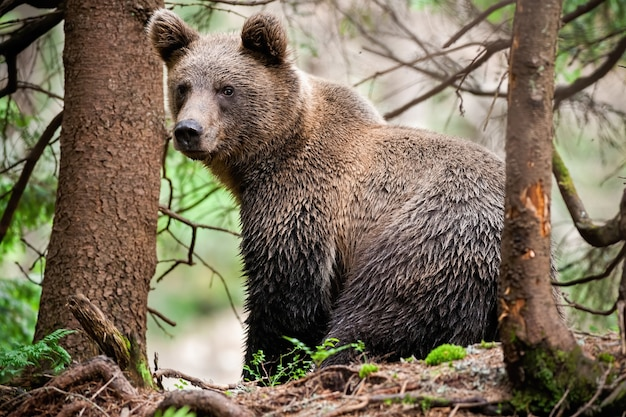 Majestic brown bear with wet fur sitting in forest and looking over shoulder