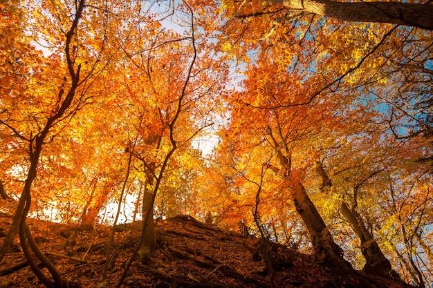 日当たりの良い梁のある雄大な色とりどりの森。明るい紅葉。カルパティア山脈、ウクライナ、ヨーロッパ。美容の世界