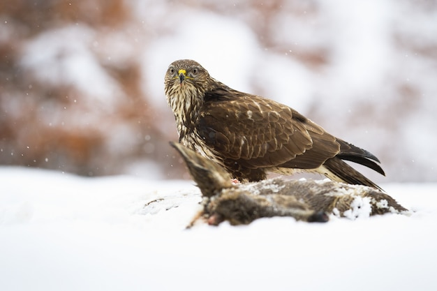 Majestic common buzzard, buteo buteo, sitting on field in winter covered with snow.