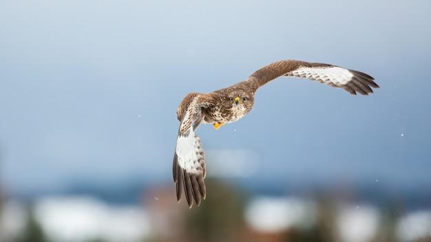 Величественный канюк, летающий зимой в воздухе.