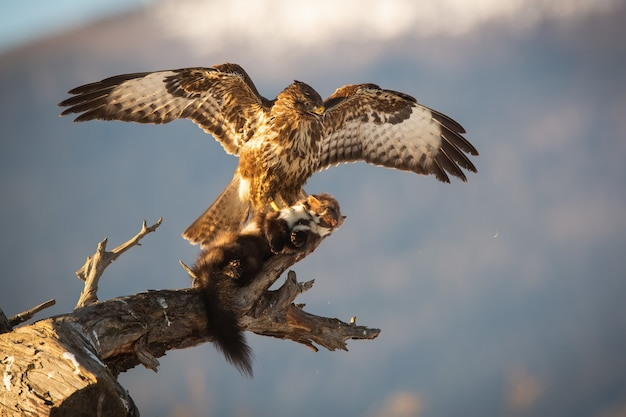 Majestic common buzzard landing on branch with a kill of marten in claws