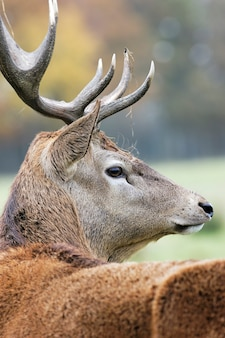 Величественный олень в тревоге осенью