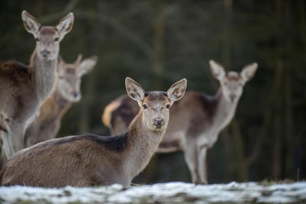 Величественный олень в лесу. животное в естественной среде обитания.