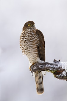 Majestic eurasian sparrowhawk, accipiter nisus, sitting on branch in winter