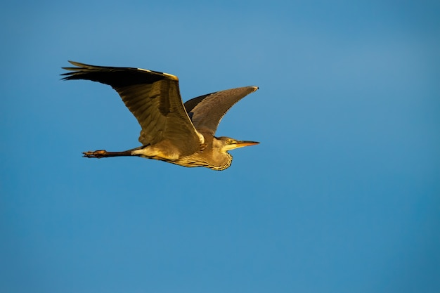 Majestic grey heron flying in the blue sky during summer.