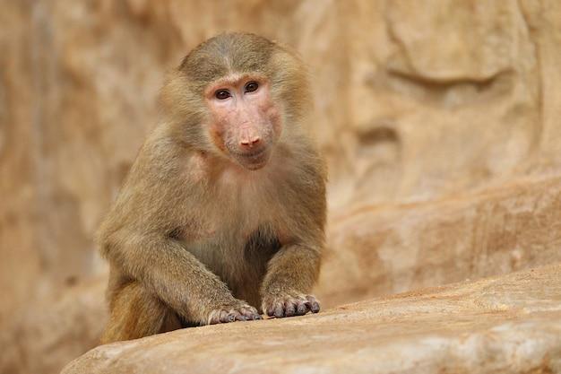 Maestoso babbuino hamadryas in cattività