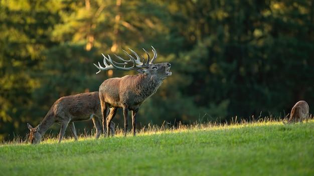 Величественный самец благородного оленя рычит перед стадом во время гона