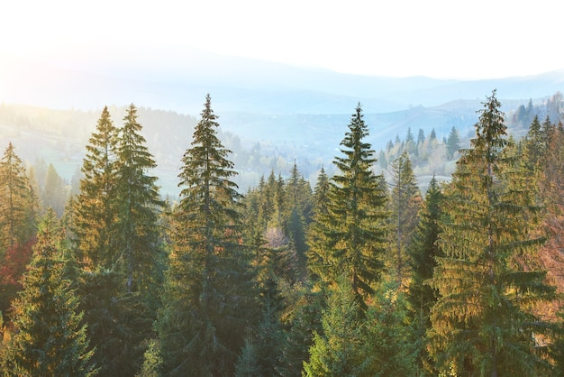 Majestic pine tree forest at autumn mountain valley. Premium Photo