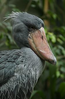 Majestic prehistorical shoebill bird