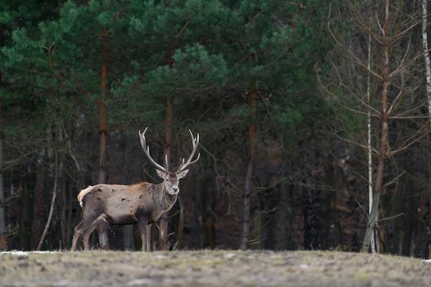 Величественный олень благородного оленя в лесу. животное в естественной среде обитания. большое млекопитающее. сцена дикой природы