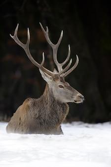 Величественный олень благородного оленя в лесу. животное в естественной среде обитания.
