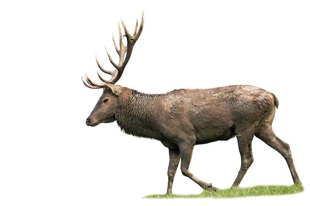 孤立した草の上を歩く雄大なアカシカの雄鹿。