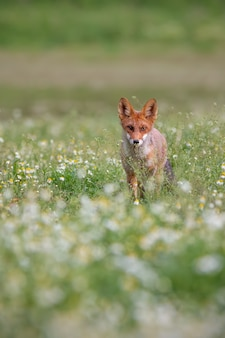 Majestic red fox standing on meadow in the summer.