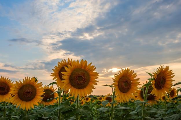ひまわり畑と美しい空と農業景観農業ビューの雄大な夕日