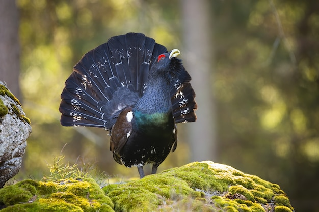 Majestic western capercaillie shining on the moss-covered stone with open tail