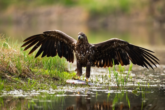 Majestic white-tailed eagle landing with spoil on the shore.