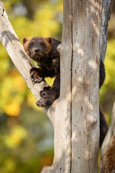 カラフルな自然の前の木に雄大なクズリがぶら下がっています