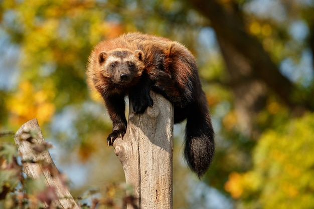 Majestic wolverine hang on a tree in front of the colorful nature