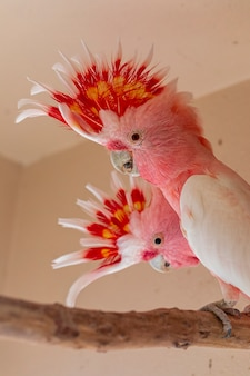 Major mitchell's cockatoo (lophochroa leadbeateri), also known as leadbeater's cockatoo or the pink cockatoo.
